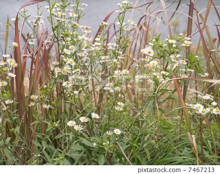 照片 植物_花 青草_树叶 草地 野菊花 丛 灌木丛  *pixta限定素材仅在