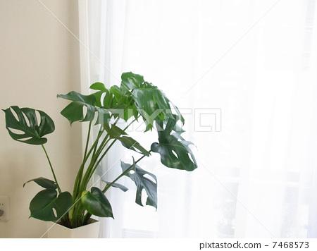 图库照片: 蓬莱蕉 室内盆栽 观叶植物