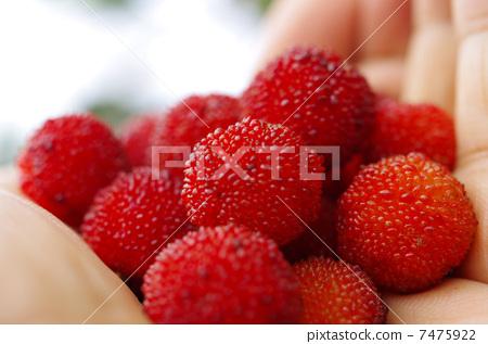 水果 日本月桂树的果实 真相