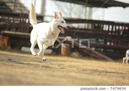 照片: 奔跑的小狗 狗 白云