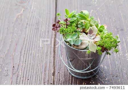 图库照片: 室内盆栽 观叶植物 盆栽