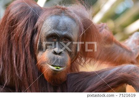 猩猩 多摩动物园 动物