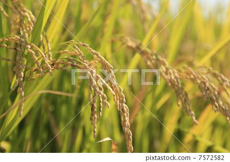 图库照片: 稻穗 背景材料 背景素材