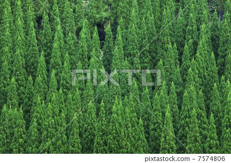 日本柳杉 林业 绿色