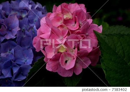 图库照片: 绣球花 粉红色的绣球花 花