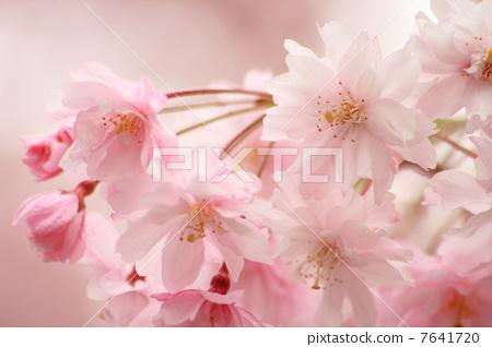 照片素材(图片): 双垂枝樱 垂枝樱花 双垂柳樱花树