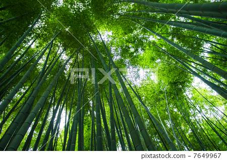 竹丛 太阳光 轻-图片素材 [7649967] - pixta
