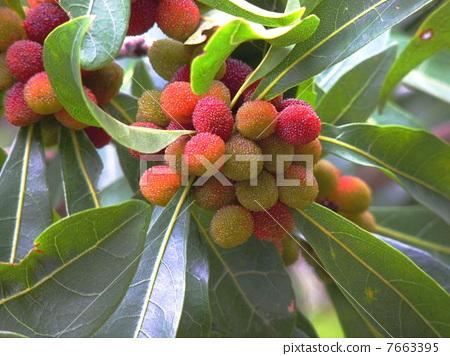 水果 日本月桂树的果实 月