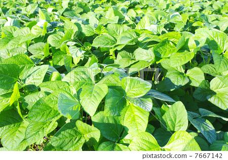 照片 业种_产业 农林水产业 农业 大豆田 黄豆 大豆  *pixta限定素材