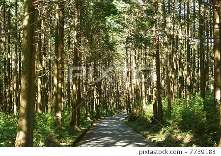 日本扁柏 山路 透过树叶的阳光