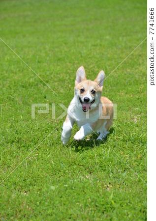 威尔士矮脚狗 玩具狗