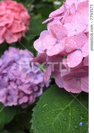 图库照片: 粉色鲜花 绣球花 雨滴