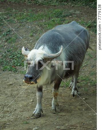 图库照片: 水牛 陆生动物 奶牛