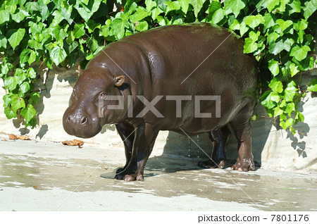 河马 稀有动物 动物