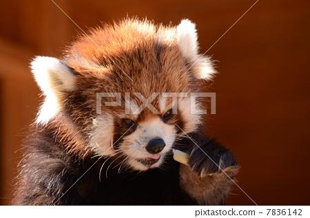 小熊猫 休闲设施 陆生动物