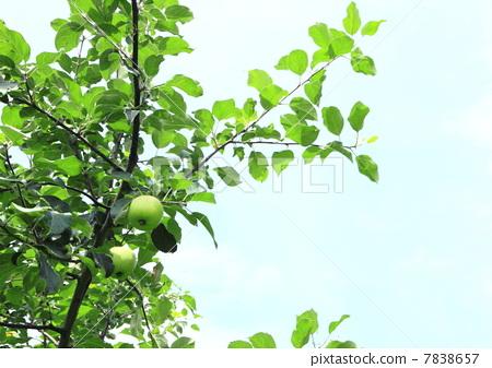 水果 树枝 苹果树上