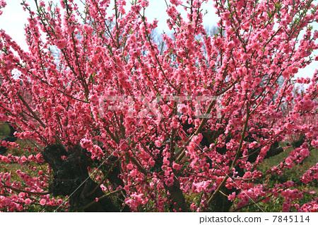 盛开 正在开花的桃树 植物