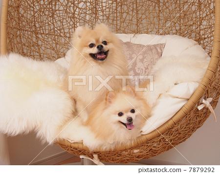 玩具狗 动物 博美犬