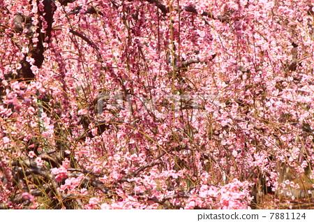 李子 树枝低垂的李树 梅花