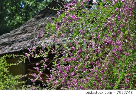 图库照片: 日本三叶花 胡枝子 粉红色