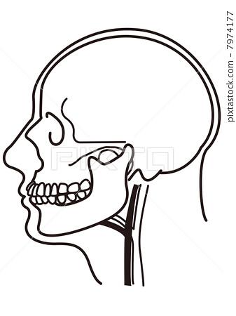 边 侧面图 头颅骨