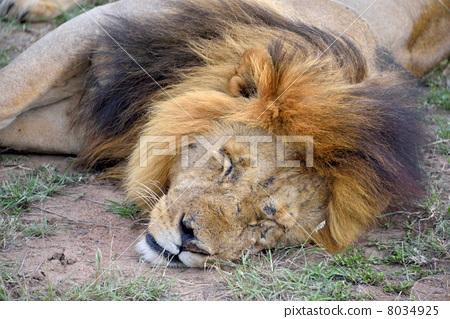 图库照片: 睡觉 狮子 小睡