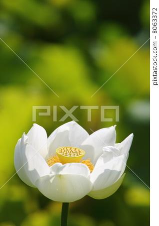 花朵 首页 照片 植物_花 花 莲花 莲花 白莲花 花朵  *pixta限定素材