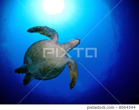 海底的 海龟 在海洋里