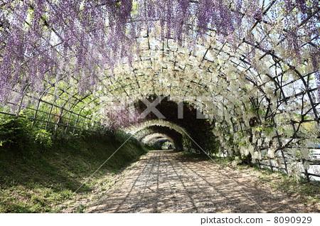 图库照片: 紫藤花架 隧道 风景