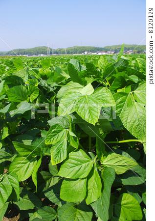 大豆背景图片素材
