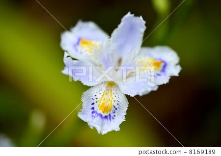 图库照片: 蝴蝶花 单瓣花 单轮