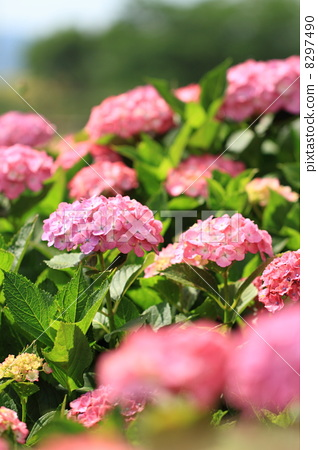 高塔山公园の紫阳花 8297490