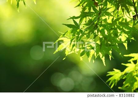 树叶 日本枫树 叶子