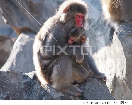 父母和小孩 猴子 日本猕猴