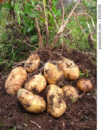 图库照片: 土豆 马铃薯 根菜类图片