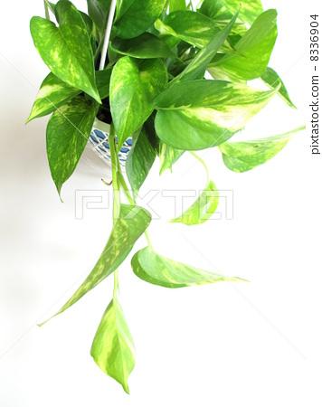 树叶 室内盆栽 观叶植物