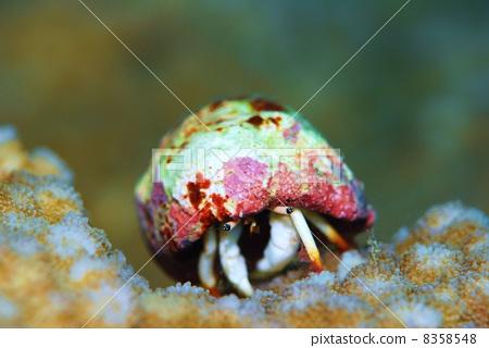 图库照片: 寄居蟹 甲壳动物 卡拉马