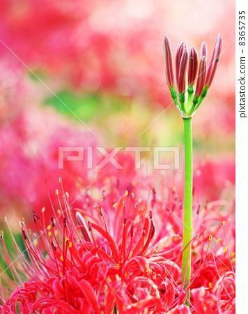 首页 照片 植物_花 花 花蕾 曼珠沙华 彼岸花 花苞  *pixta限定素材仅