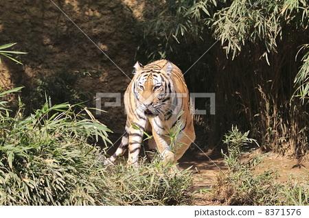 图库照片: 老虎 虎 野生动物园
