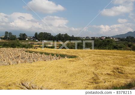 图库照片: 水稻丰收 秋天 秋