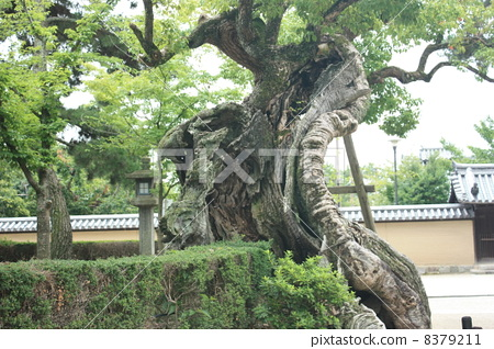 寺庙的木头 树木 树
