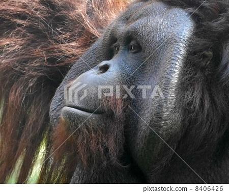 猩猩 圆山动物园 猿人
