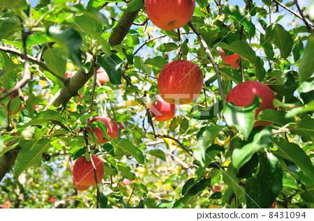 水果 苹果园 苹果树上