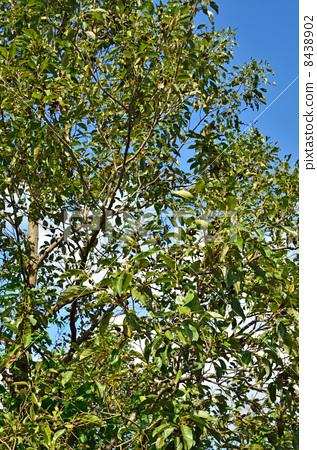 图库照片: 日本桤木 落叶树 桦木科图片