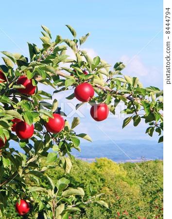 首页 照片 蔬菜_食品 水果 苹果 苹果 苹果树 苹果园  *pixta限定素材