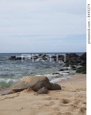 照片素材(图片): 海龟 乌龟 海洋生物