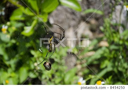 蜘蛛 节肢动物 黄色