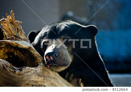 马来人太阳熊 动物宝宝
