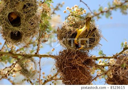 照片 动物_鸟儿 鸟儿 小鸟 小鸟 未离巢的雏鸟 鸟巢  *pixta限定素材