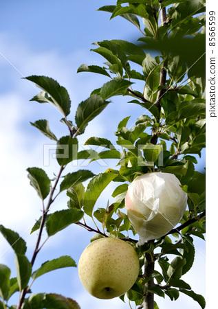 照片: 苹果树上 苹果 秋天